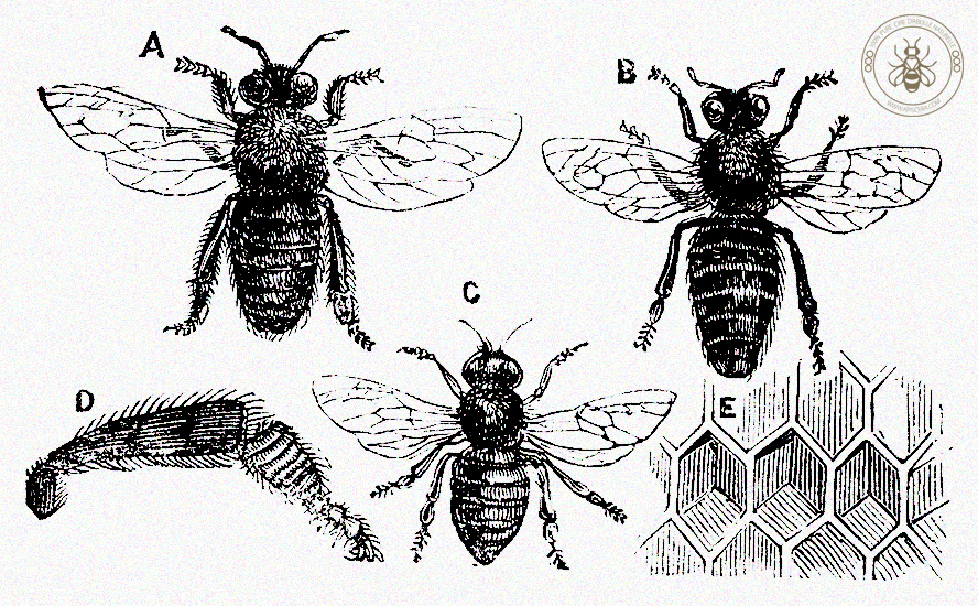 Beeswax is secreted by the wax-bees