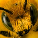 L'Europe en grave déficit d'abeilles pour polliniser ses cultures