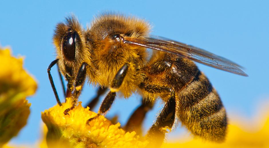 l institut de l abeille en voie de disparition. Black Bedroom Furniture Sets. Home Design Ideas