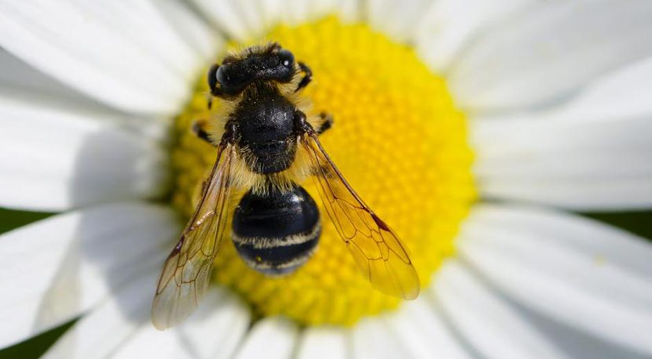Des abeilles butineuses de TNT en renfort dans les Balkans pour repérer les mines