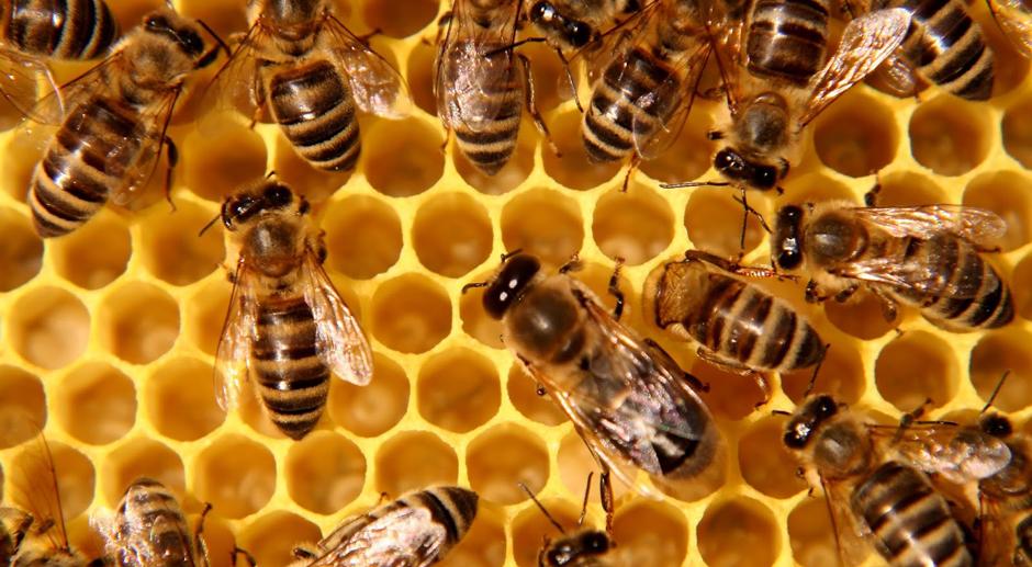 https://apiscera.com/wp-content/uploads/2014/05/honey_bees.jpg