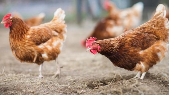 Les poules, une arme efficace pour lutter contre le frelon asiatique