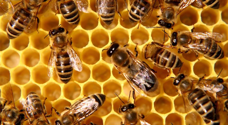 """Résultat de recherche d'images pour """"colonie d'abeilles"""""""