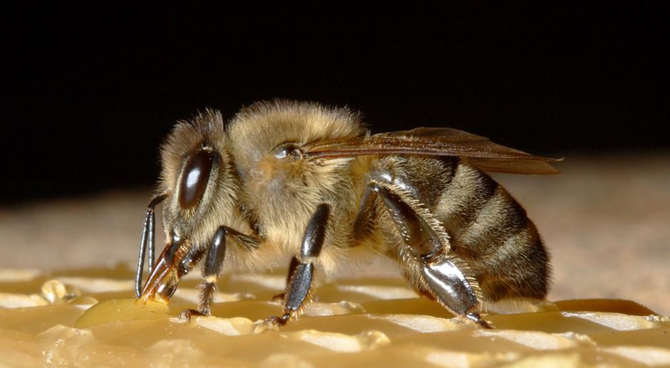 Les habitants de la ruche : le faux Bourdon