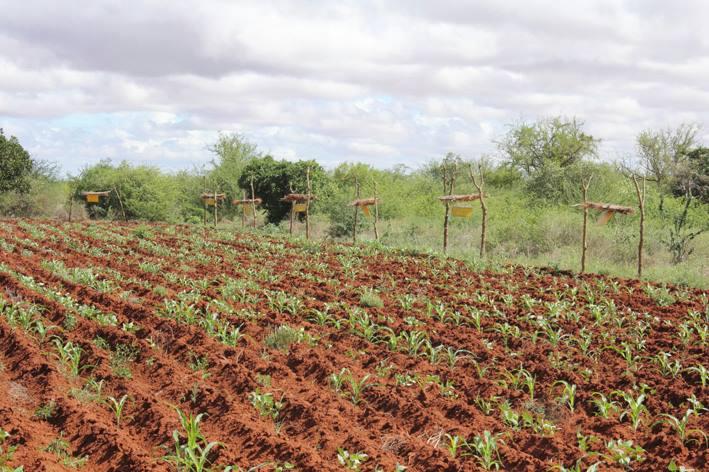 Les paysans Africains installent des ruches dans leurs champs pour faire face aux éléphants