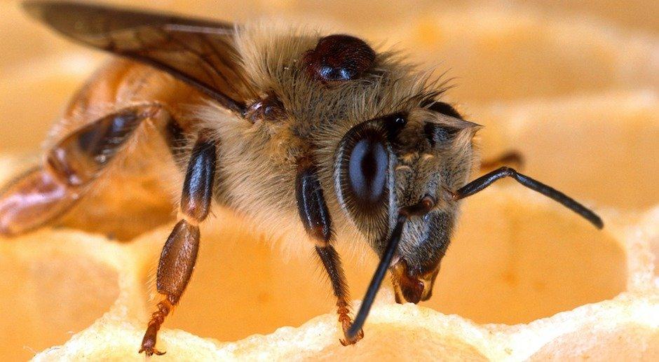 Une percée dans la lutte contre le varroa