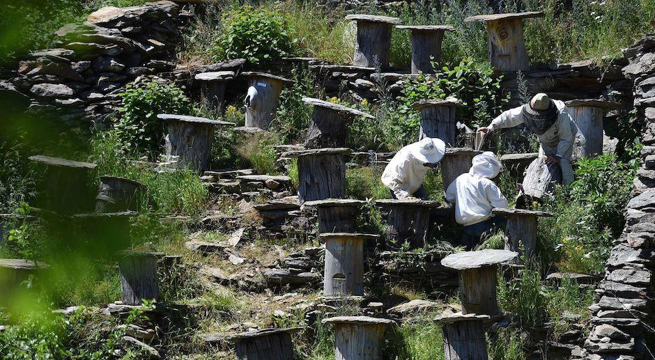 Des ruches-troncs pour préserver l'abeille noire