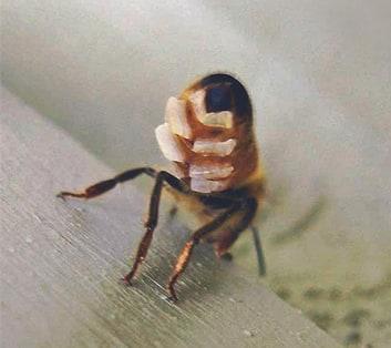 Cire d'abeille - Apis Cera